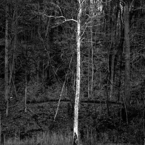 Black and white photo of tall white tree by water