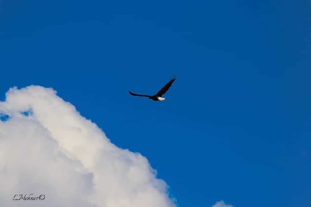 Eagle or similar bird flying in the blue sky beside a cloud
